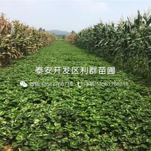 麥特萊草莓苗批發價格、麥特萊草莓苗多少錢一棵圖片