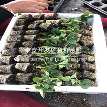 新品種草莓苗批發圖片