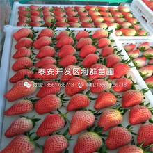 安娜草莓苗批發價格、2019年安娜草莓苗價格圖片