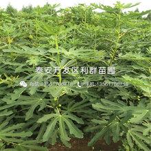 出售日本紫果无花果树苗、日本紫果无花果树苗价格