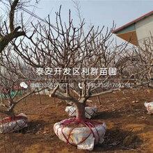 紫色波尔多无花果树苗批发价格、紫色波尔多无花果树苗多少钱一棵