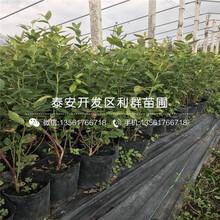 哪里有維口藍莓樹苗出售、維口藍莓樹苗多少錢一棵圖片