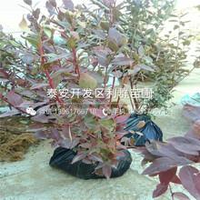 芝妮蓝莓苗、芝妮蓝莓苗价格及报价图片