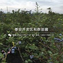 新品種中熟藍莓樹苗、中熟藍莓樹苗多少錢一棵圖片