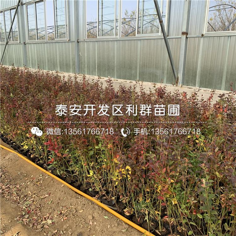顶峰蓝莓树苗、顶峰蓝莓树苗多少钱