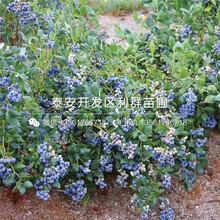 杰兔藍莓苗價格、杰兔藍莓苗批發圖片