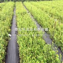 V3藍莓樹苗、V3藍莓樹苗價錢圖片
