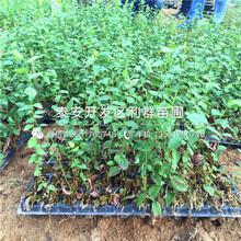 蓝港蓝莓树苗、蓝港蓝莓树苗什么价格图片