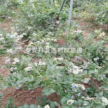 巴爾德溫藍莓苗、巴爾德溫藍莓苗出售基地圖片