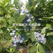 巨人藍莓樹苗、巨人藍莓樹苗批發價格圖片