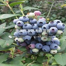 蓝鸟蓝莓苗多少钱、蓝鸟蓝莓苗多少钱一棵图片