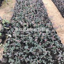 比洛克西蓝莓苗、比洛克西蓝莓苗多少钱一棵图片