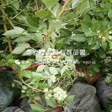 泰安蓝莓树苗、泰安蓝莓树苗基地图片