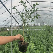 双丰蓝莓苗出售、双丰蓝莓苗价格图片
