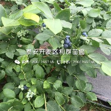 苔蘚藍莓樹苗、苔蘚藍莓樹苗出售價格圖片