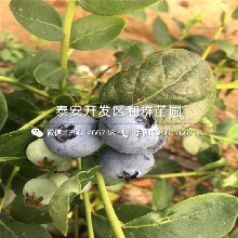 新品种蓝莓苗价格、新品种蓝莓苗出售图片