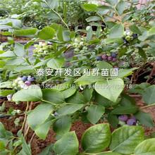 山東山東藍莓苗、山東藍莓苗價格圖片