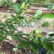 塞拉蓝莓苗、塞拉蓝莓苗多少钱一棵图片