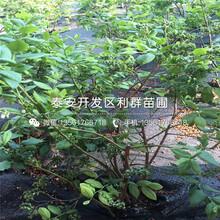 新品種藍莓苗、新品種藍莓苗多少錢圖片