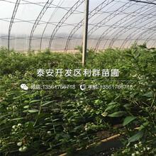 蓝宝石蓝莓树苗、蓝宝石蓝莓树苗多少钱一株图片