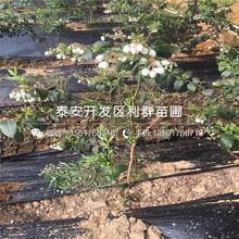 新品種藍莓樹苗、新品種藍莓樹苗出售價格圖片