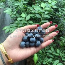 斯卫克蓝莓树苗、斯卫克蓝莓树苗品种图片