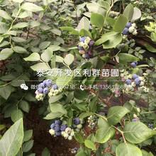 山東甜脆藍莓樹苗、甜脆藍莓樹苗價格圖片