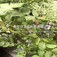 哪里有雙豐藍莓苗、雙豐藍莓苗價格多少圖片