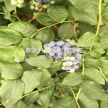 考斯特藍莓苗、考斯特藍莓苗批發基地圖片