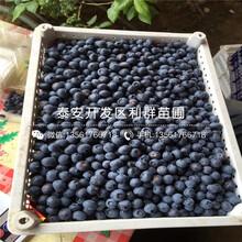 埃利奥特蓝莓树苗、埃利奥特蓝莓树苗基地图片
