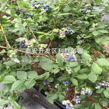 米德藍莓苗、米德藍莓苗價格多少圖片