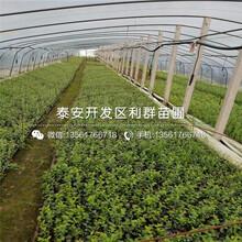 大粒星蓝莓树苗、大粒星蓝莓树苗品种图片