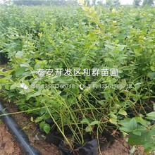 巴爾德溫藍莓樹苗報價、巴爾德溫藍莓樹苗多少錢一棵圖片