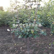 红茄梨树苗价格、山东红茄梨树苗图片