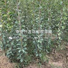 红梨苗出售、红梨苗价格及报价图片