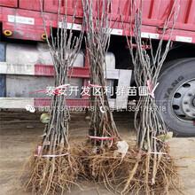 红香梨树苗出售、红香梨树苗价格图片