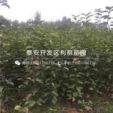 山东红香酥梨树苗、山东红香酥梨树苗价格及报价图片