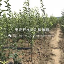 苏翠1号梨树苗价格、苏翠1号梨树苗价格及报价图片