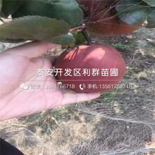山东早生喜水梨树苗、早生喜水梨树苗多少钱一棵图片