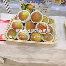 山东出售梨树苗、出售梨树苗基地图片