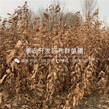 泰山紅光板栗樹苗、泰山紅光板栗樹苗新品種圖片