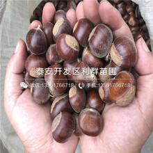 泰山紅光板栗樹苗出售、2020年泰山紅光板栗樹苗價格圖片