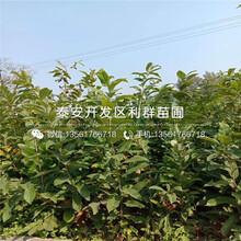 泰山紅光板栗苗批發價格、泰山紅光板栗苗多少錢一棵圖片