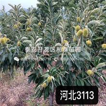 2020年泰栗一號板栗樹苗報價、今年泰栗一號板栗樹苗價格是多少圖片
