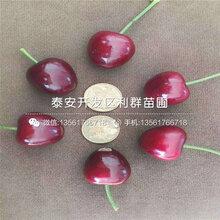 2公分艳阳樱桃树苗、2公分艳阳樱桃树苗价格及报价