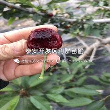 红蜜樱桃树苗价格、红蜜樱桃树苗出售