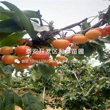 塞维樱桃苗、塞维樱桃苗报价及价格