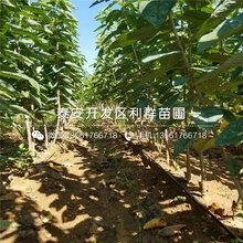 吉塞拉7号樱桃苗、吉塞拉7号樱桃苗价格及报价