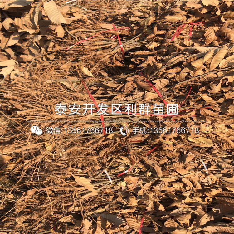 泰山油光板栗苗出售、2020年泰山油光板栗苗价格