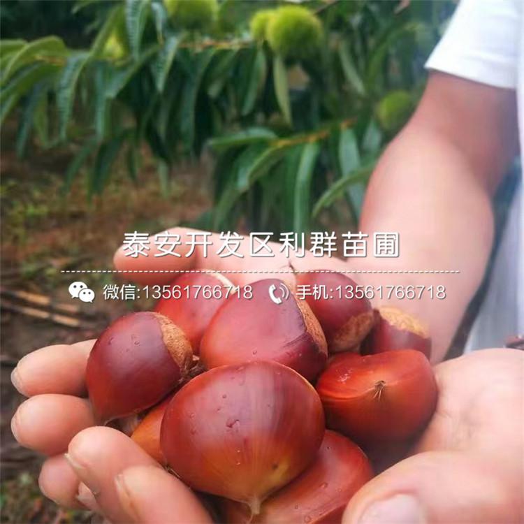 出售新品种板栗苗、出售新品种板栗苗价格